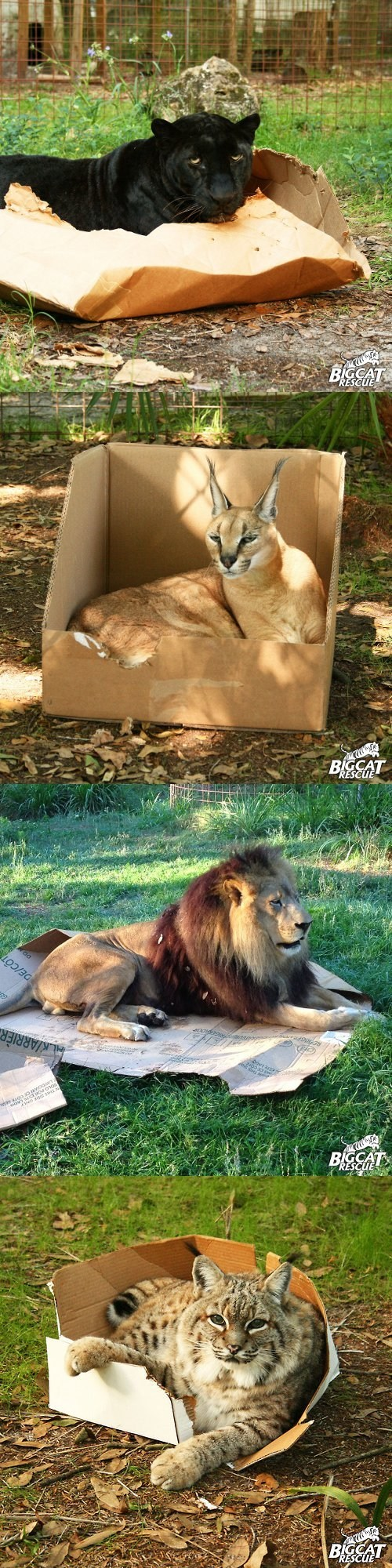 boxes,big cats