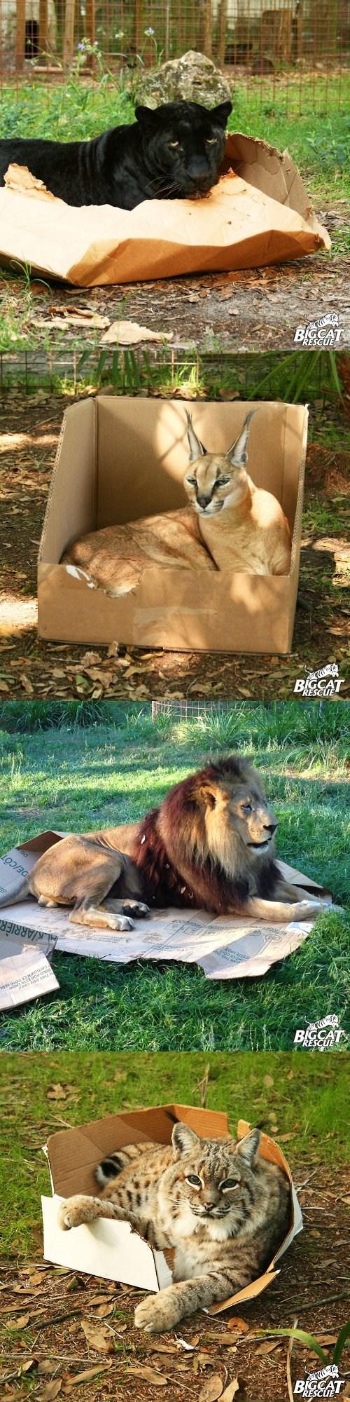 boxes big cats - 7346403584