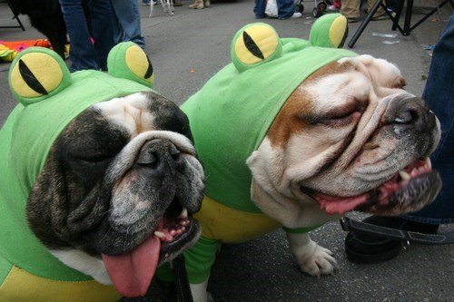 bulldog,costume,frogs