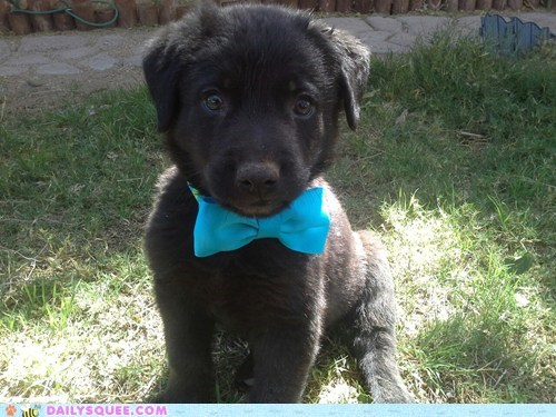 puppy bow tie dashing - 7353041664