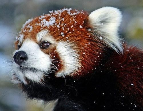 red panda,snowy