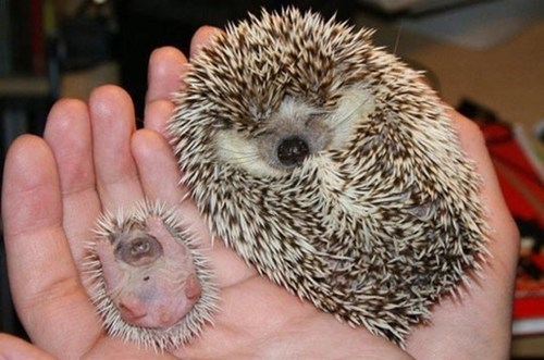yay baby hedgehog - 7360171008
