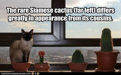 The rare Siamese cactus (far left) differs greatly in appearance from its cousins.