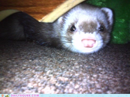 ferret,piper,hiding
