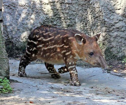 trot,tapir