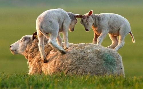 kids sheep - 7377499648