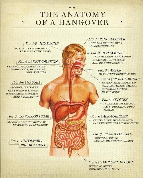 anatomy,science,hangover