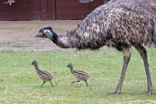 baby,chicks,emu