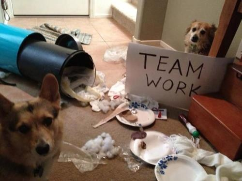 dogshaming teamwork messy corgis