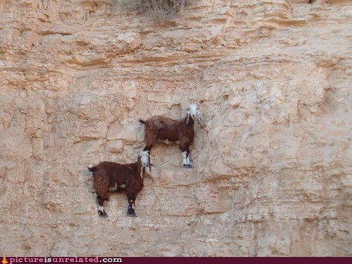 wtf,goats,cliffs