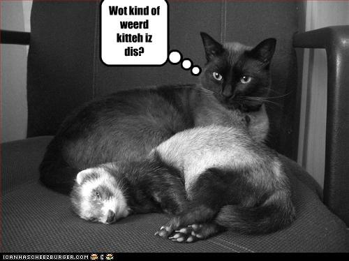 ferret cat - 7388469760