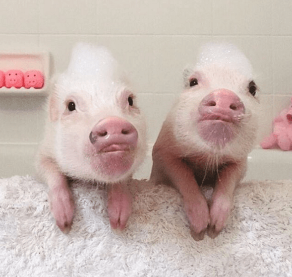 pig,cute,hogs