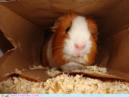guinea pig - 7396620032