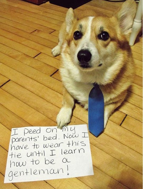 tie gentleman corgi dog shaming proper