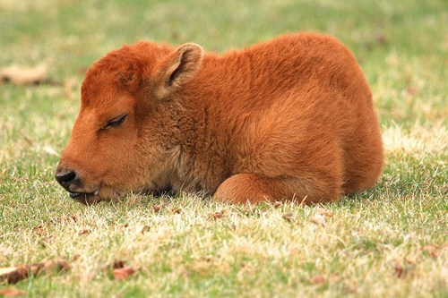 baby,bison,sleep
