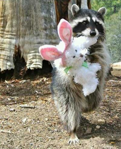 raccoon,friend,bunny