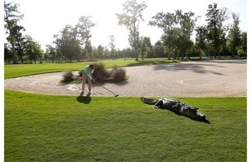 alligator sports golf - 7401208576