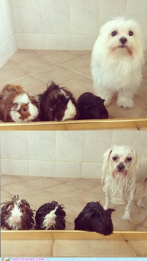dogs,guinea pigs,shower