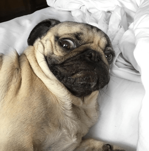 dogs,instagram,pugs