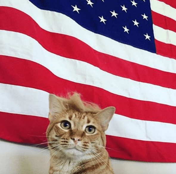 cats that look like Donald Trump, especially the hair