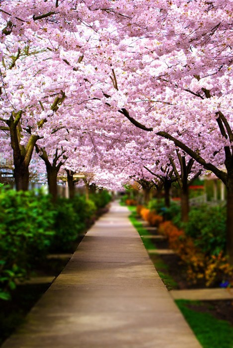 garden,park,cherry blossoms