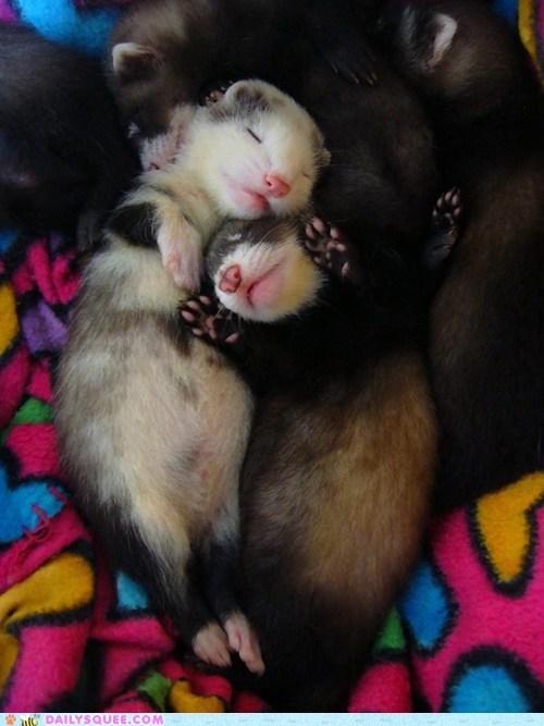 buds cuddle ferrets - 7415147520