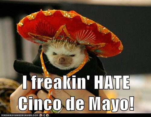 cinco de mayo,grumpy,hedgehog