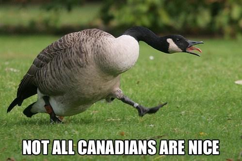 canadian goose,nice