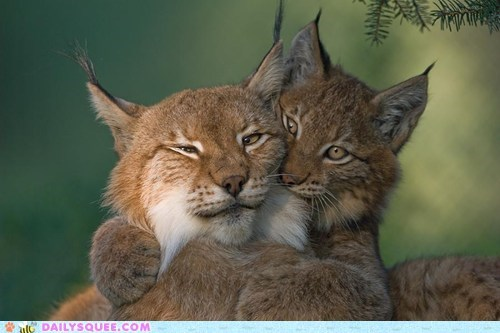cute picture of bobcat brothers
