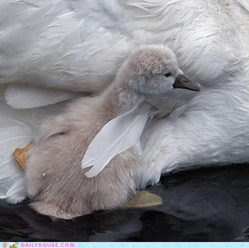 swim,bird