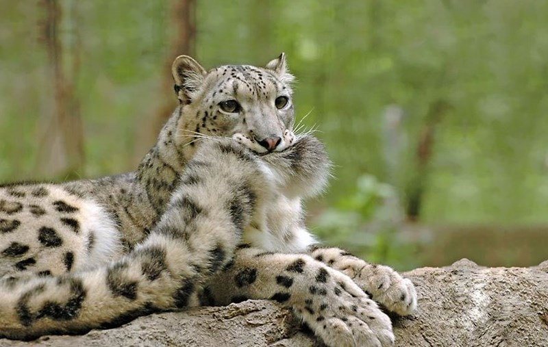 snow Fluffy tails leopards - 7425285