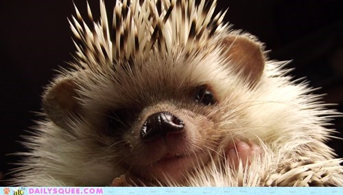 close up,hedgehog
