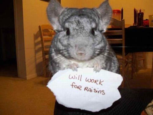 raisins signs funny chinchillas