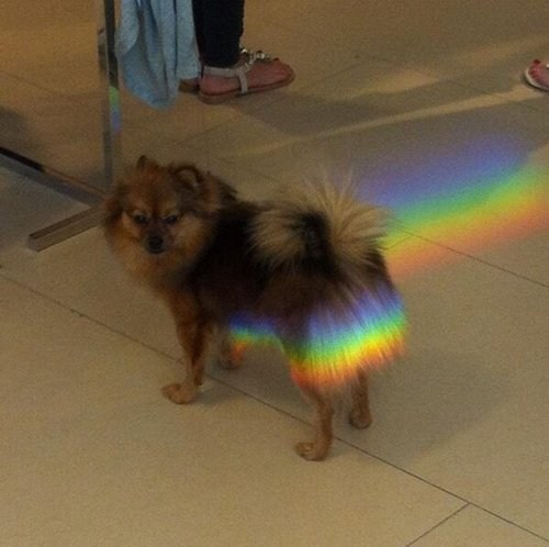 Nyan Cat,dogs,funny,rainbow