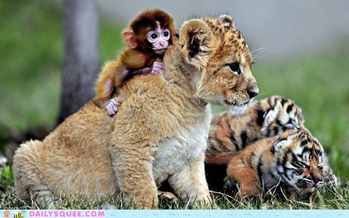 tigers lion monkey - 7433648896