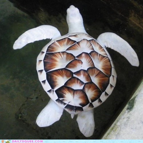 albino,sea turtle