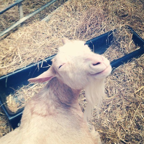 goat,high,dude