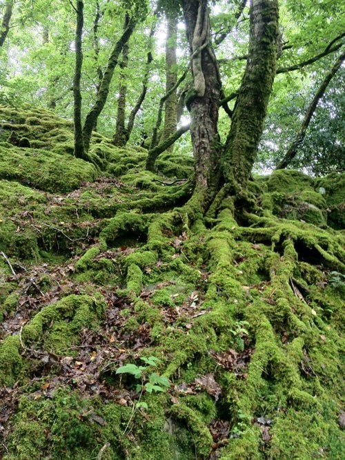 Forest Ireland roots - 7435876096