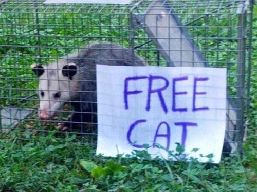 cat opossum free cat pets-funny - 7443347456