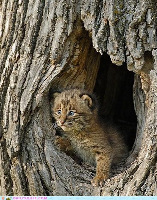 baby cute bobcat - 7444526336