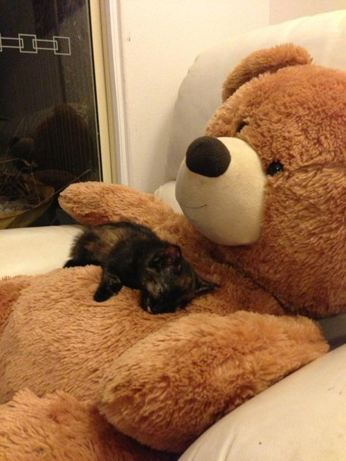cat teddy bear snuggles - 7447057152