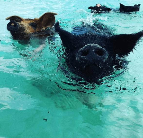 pig,swimming