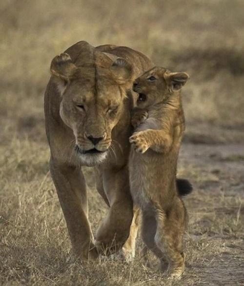 lions yelling mom - 7454238464
