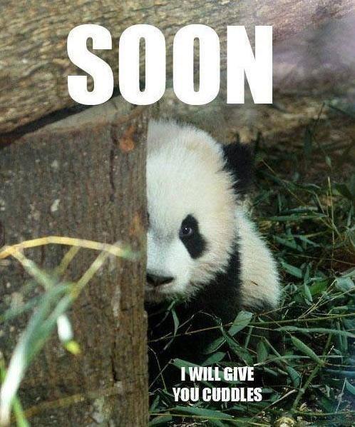panda SOON cute cuddles - 7455747584