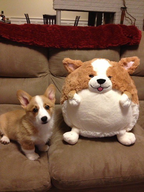 toy fat puppy cute corgi funny