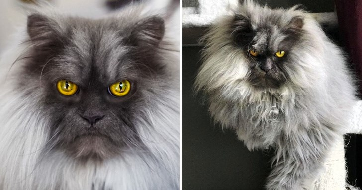 amazing angry looking cats | very majestic and regal looking cat with a long luxurious grey mane grumpy serious face and striking yellow eyes