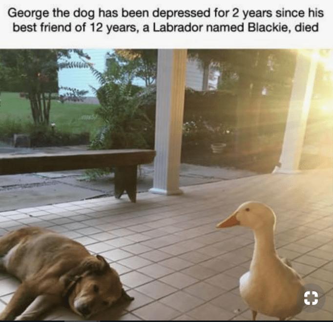 dogs friends ducks depression - 7461381