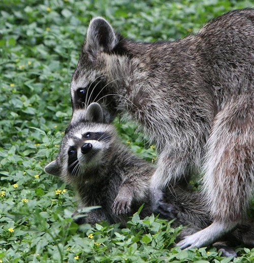 raccoon,but mom