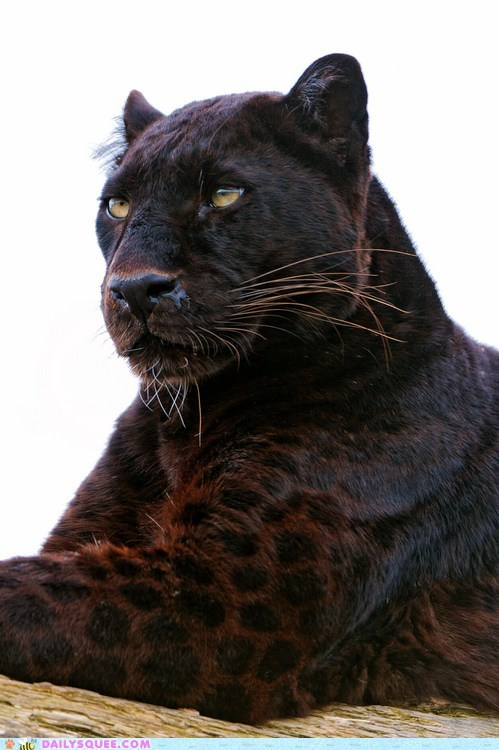 big cat spotted majestic - 7466696704