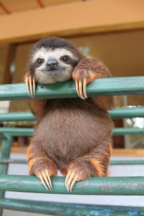 baby sloth - 7467249152